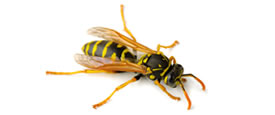 bees_hornets